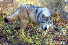 Tundra Wolf in Montana Autumn Color Wolves Fighting, Wolf Poses, Maned Wolf, African Wild Dog, Grey Wolves, Gray Wolf, Wolf Pictures, Beautiful Wolves, Wild Dogs