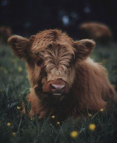 Im currently exploring the cow forest with naturbanlife bendisee and ufbl Cute Baby Cow, Baby Cows, Cute Cows, Baby Elephants, Fluffy Cows, Fluffy Animals, Cute Little Animals, Cute Funny Animals, Farm Animals