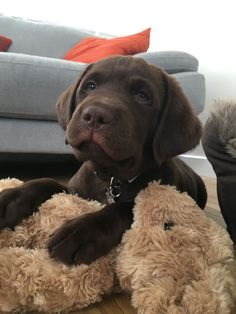 Teddy with teddy! Labrador retriever Dogs, puppy , funny, happy. onlyleash.com ==> visit http://www.amazingdogtales.com/gifts-for-labrador-retriever-lovers/ for cool labbie merchandise #LabradorRetriever