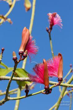 Image of a Shaving Brush Flower Pseudobombax ellipticum from San Pedro, Ambergris Caye, Belize