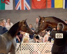 Scottsdale Arabian Horse Show News for Tuesday, February 17, 2015 :: Arabian Horses, Stallions, Farms, Arabians, for sale - Arabian Horse Network, www.arabhorse.com