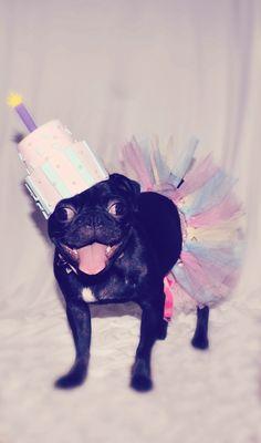 #birthday #pug