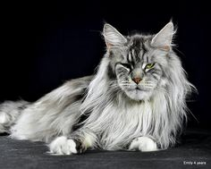 Shedoros. PL*Emily Enza http://www.mainecoonguide.com/male-vs-female-maine-coons/