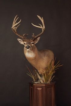 Taxidermy Decor, Whitetail Deer Hunting, Deer Mounts, White Tail, Moose Art, Drawing Ideas, Drawings, Man Cave, Animals