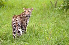 #krugerpark #wilderness #leopard