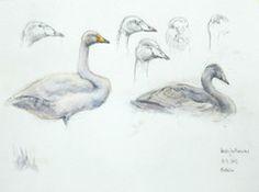 Laulujoutsenia - Whooper Swans