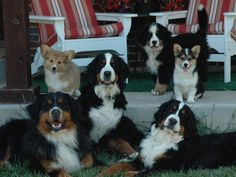 Here at Haystack Acres, we are dedicated to the health, proper social development and well being of this wonderful breed, the Bernese Mountain dog. Our dogs our European imports coming from champion bloodlines with longevity, excellent health, dispositions and conformation. Our pups are raised in our house as part of our family until 4 weeks of age when they are then moved into heated and air-conditioned facilities on our ranch. Here their socialization and proper development continue...