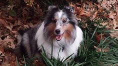 Autumn Blue Merle Sheltie