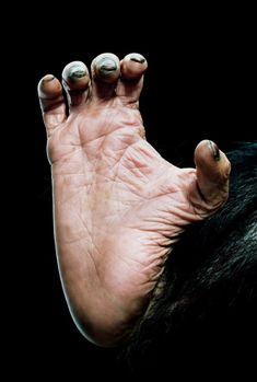Chimpanzee's (Pan troglodytes) foot, close-up