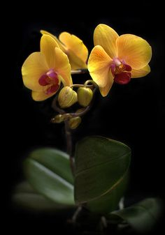 Yellow Phalaenopsis orchid Photograph