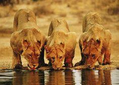 South Africa safari and Mauritius beach holiday South Africa Holidays, South Africa Tours, South Africa Safari, African Animals, African Safari, West Usa, Wild Animals Photography, Wildlife Photography, Nature Sauvage