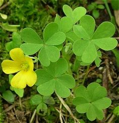Wood sorrel, aka Oxalis stricta.   Native. Edible in small amounts Seed pods can explode, throwing seeds 1-13 feet.