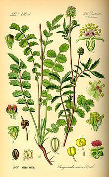 """Kleiner Wiesenknopf – Wikipedia """"Der #Kleine_Wiesenknopf (Sanguisorba minor) ist eine Pflanzenart aus der Familie der Rosengewächse (Rosaceae)."""""""