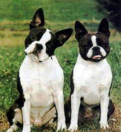 funny boston terriers | Boston Terrier Puppies Pictures - Boston Terriers - Zimbio