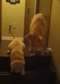 When Daisy, a 9-week-old foster puppy is afraid to go down the stairs, Simon, a 6-month-old rescued lab mix puppy, helps teach her. Watch the sweet video!