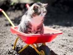 'Give me a push home please'- cute Cat in a Wheelbarrow Crazy Cat Lady, Crazy Cats, Scottish Fold, Cat Names, Cute Cats And Kittens, Domestic Cat, Mixed Breed, Wheelbarrow, Grumpy Cat
