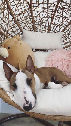 Miniature Bull Terrier, Doggies, Corgi, Miniatures, Socks, Puppies, Friends, Pets, Animales