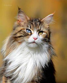 heterochromia iridum cat