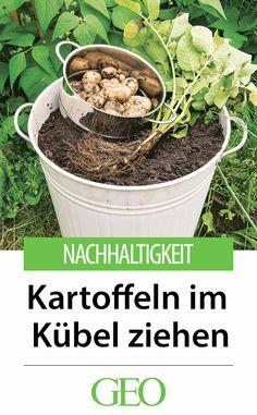Tipp für kleinen Garten oder Balkon: Neue Kartoffeln aus eigenem Anbau sind geschmacklich unschlagbar, also warum sollte man nicht einmal versuchen, sie in einem alten Eimer anzubauen? So geht's