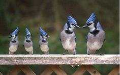 Blue jay family....adorable .....              Glad when they go back to school and we can have some peace!