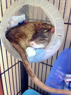 When I get a new rat ball I can do this with the old one =]