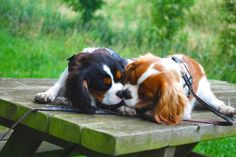 Love my dogs- Violet & Olive Cocker Spaniel Puppies, Spaniel Dog, Spaniels, Cavalier King Charles Dog, King Charles Spaniel, I Love Dogs, Cute Dogs, Adorable Puppies, Dressage