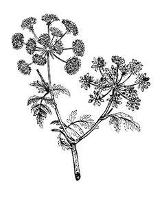 Digital Stamp Design: Free Flower Digital Stamp: Vintage Illustration of Medicinal Herb