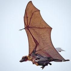 Indian flying fox with pup Woodland Creatures, Cute Creatures, Beautiful Creatures, Murcielago Animal, Amazing Animal Pictures, Bird Pictures, Bat Species, Bat Flying, Cute Bat