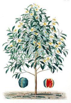 Magnolia champaca    From Flore médicale usuelle et industrielle du XIXe siècle (Common and industrial medical flora of the XIX century), by Aristide Dupuis and Oscar Réveil, Paris, 1870.