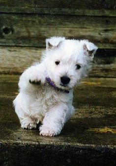 Bear says hi! (I love westies, facebook)