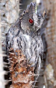 Madagascar Scops Owl | BIRD - OWL - MADAGASCAR SCOPS OWL - BERENTY RESERVE MADAGASCAR (13 ...