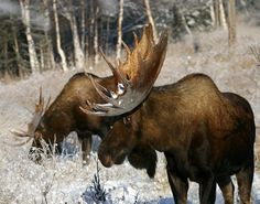 Feeding in winter  #moose  Visit our page here: http://what-do-animals-eat.com/moose/