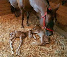 Mama horse and twins.  They are all legs-so so cute!Brought to you by Cookies In Bloom and Hannah's Caramel Apples   www.cookiesinbloom.com   www.hannahscaramelapples.com