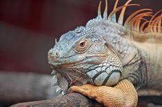 Possibly a Bearded Dragon http://petinfogalore.com