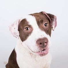 Petango.com – Meet Frostie, a 1 year 4 months Retriever / Terrier, American Pit…