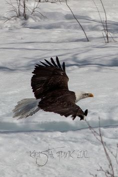 Low Altitude Fly By: Bald Eagle in Whitehorse, Yukon Territory
