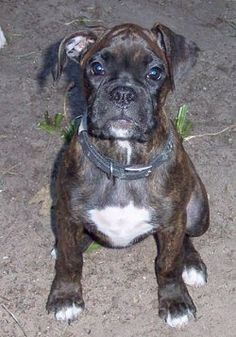 Gypsy Rose, a marvelous reverse brindle American Boxer puppy.