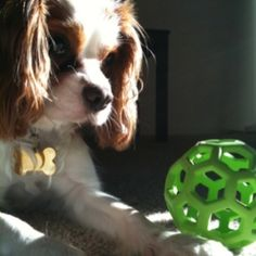 Cavalier King Charles by therese