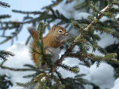 http://faaxaal.forumgratuit.ca/t2127-photos-de-rongeurs-ecureuil-roux-d-amerique-ecureuil-de-l-hudson-tamiasciurus-hudsonicus-american-red-squirrel#5120