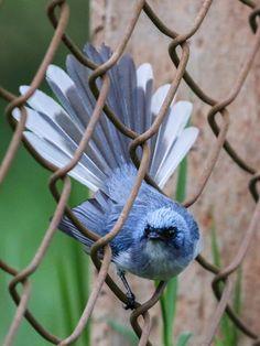 Elminia blanquiazul - White-tailed Blue-Flycatcher - Weißschwanz-Haubenschnäpper - Elminie à queue blanche