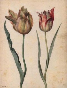 Georg Flegel - two tulips, c.1630, watercolour.  Some of his paintings are on the board 'art of flowers ~ traditional still life'  (1566-1638)