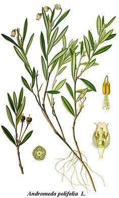 Plantes Éricacées (rhododendrons, azalées, Vaccinium) - Planted acidophiles (pH plus acide, entre 4 et 5)