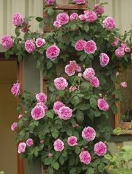 1 of these for against family room round window wall: Gertrude Jekyll English Climbing Rose - Climbers - David Austin Roses