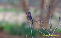 An eastern blue bird at the Huntsville Botanical Garden