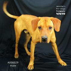 A006029 is an adoptable Redbone Coonhound -- love bug! Dangerous shelter.