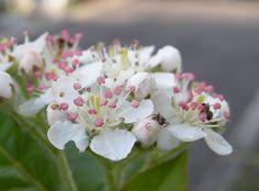 アロニアの花(雌蕊二本のもの有り)とアリ