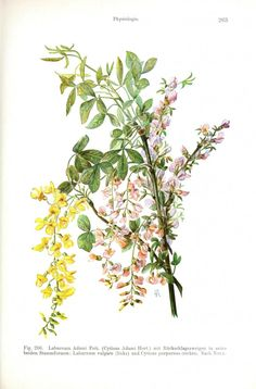 Botanical - Flower - Tree with flower color variation