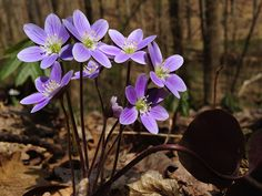 Anemone americana March 2018 Know What You Grow