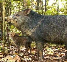 Peccary and it's little baby piglet stop by to rest in the Peruvian Amazons.