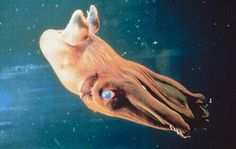 http://oceana.org/marine-life/cephalopods-crustaceans-other-shellfish/vampire-squid